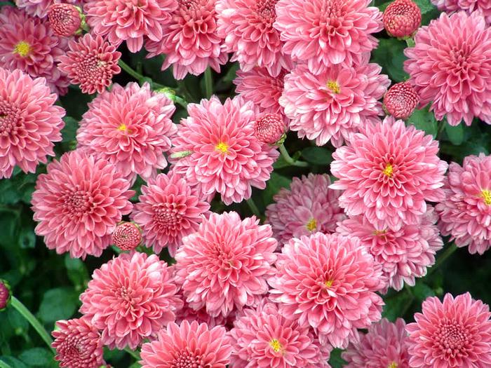 chrysanthemum_1 (700x525, 604Kb)