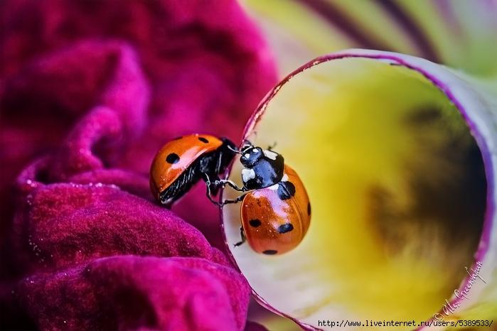 2_ladybugs_round_900_by_alexgphoto-d5uvuiz (700x466, 216Kb)