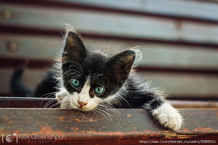 tiny_sir_cat_warm2_900_by_alexgphoto-d6pesev (700x466, 255Kb)