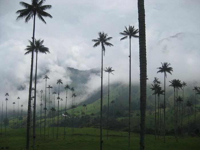 самая высокая пальма в мире (700x524, 284Kb)