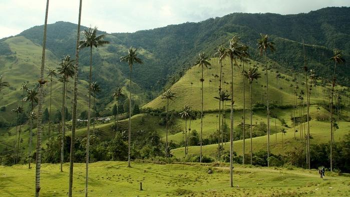 самая высокая пальма в мире 2 (700x393, 345Kb)