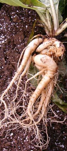 Растения обереги 106343657_3994755_mandragora2