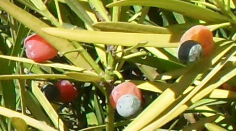 ягоды ногоплодника в натуральную величину (469x262, 90Kb)