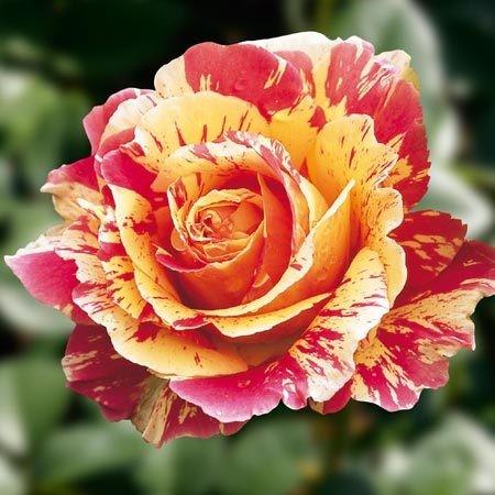 0_76b35_c38b368c_L-пестрая роза! (450x450, 59Kb)