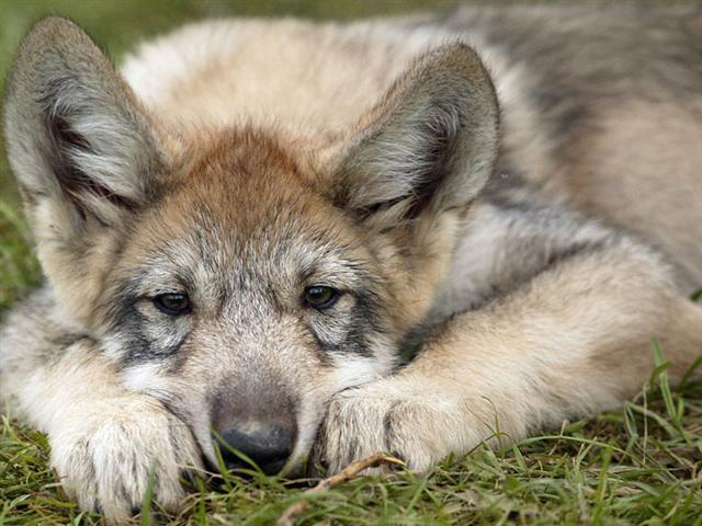 волк (640x480, 55Kb)