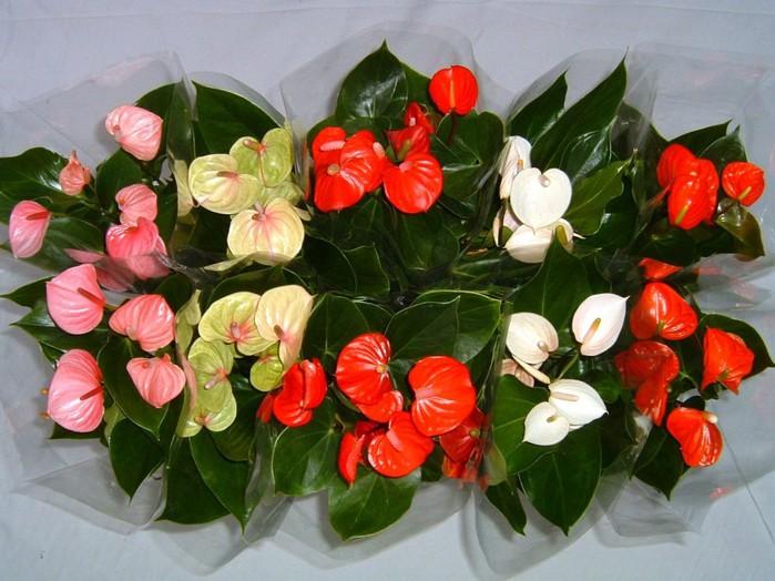 Фото комнатных растений женское счастье