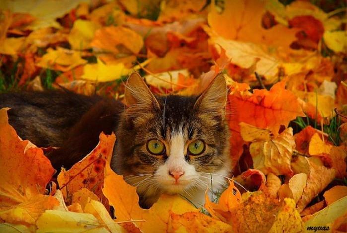 кошки и осень1 (699x470, 218Kb)