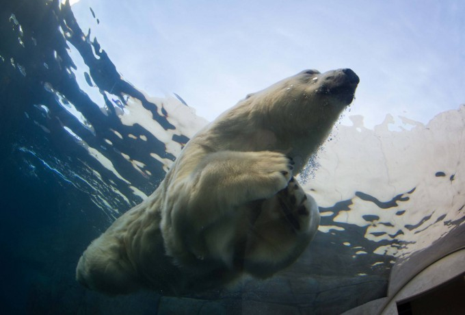 белые медведи под водой фото 1 (680x460, 186Kb)