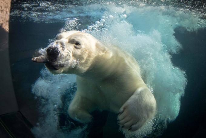 белые медведи под водой фото 3 (680x457, 234Kb)