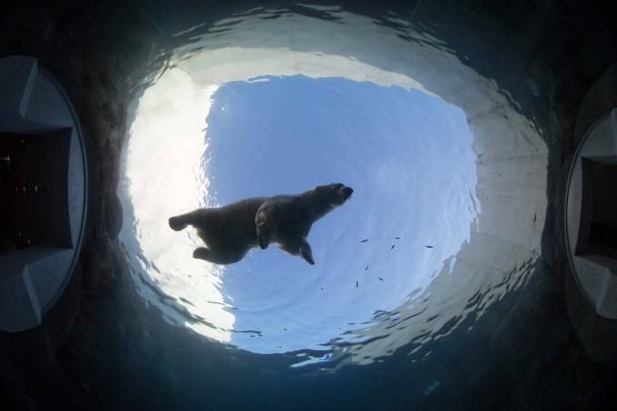 белые медведи под водой фото 5 (680x453, 160Kb)