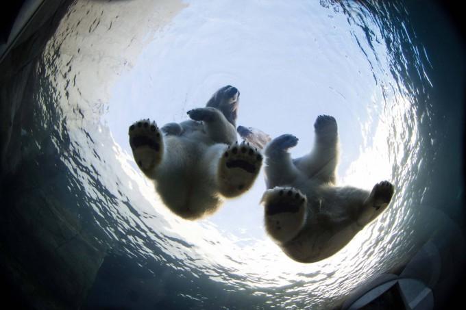 белые медведи под водой фото 8 (680x453, 222Kb)