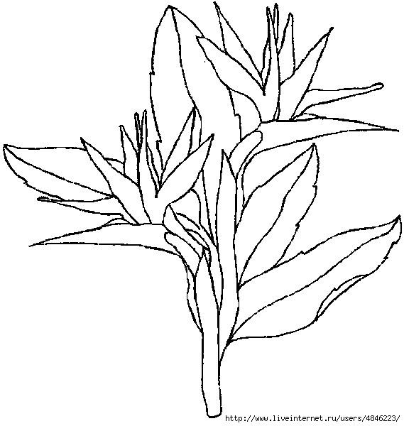 strelitzia (569x600, 130Kb)