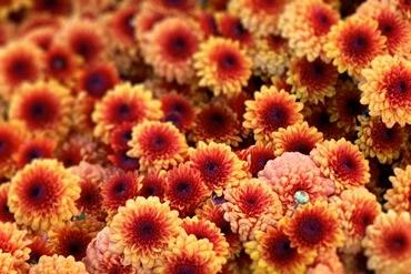 Chrysanthemum07_thumb (370x247, 86Kb)