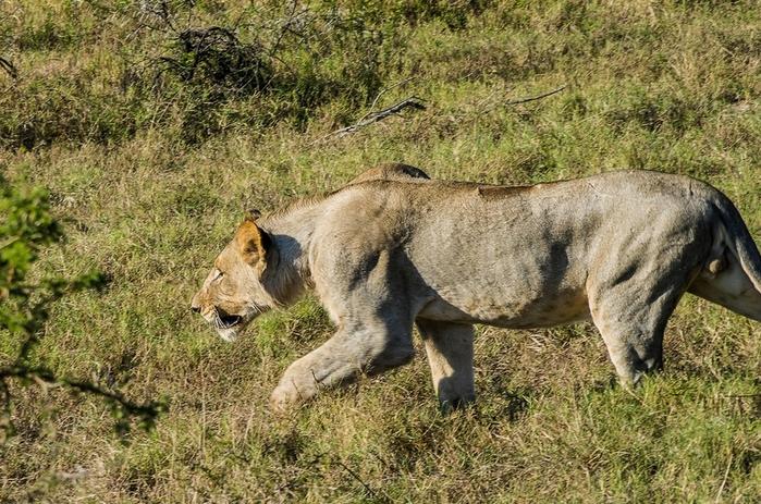 Из жизни африканских львов в заповеднике Тембе