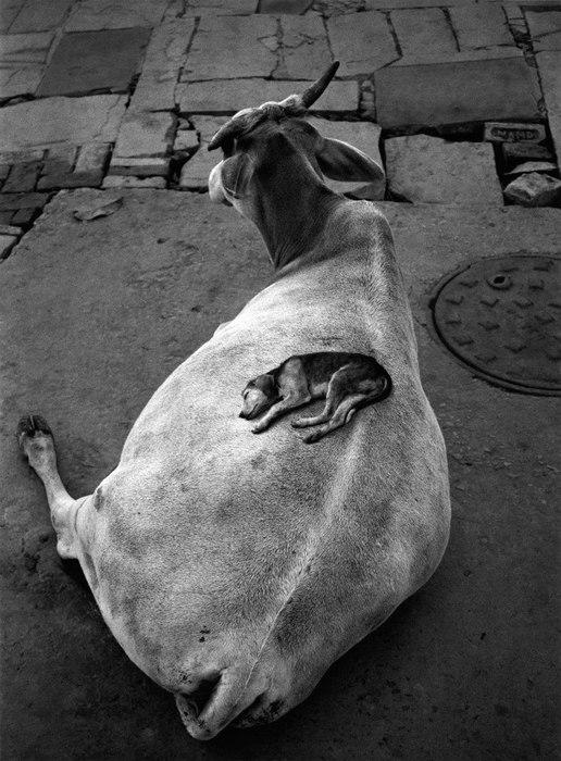 собака и корова (516x700, 93Kb)