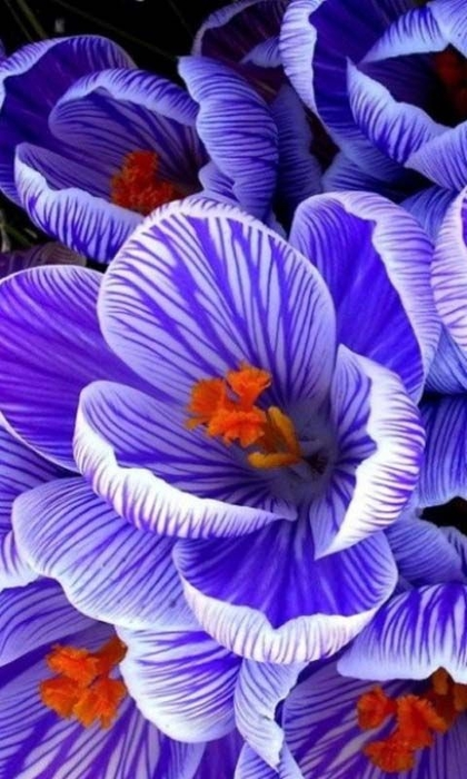 необыкновенной красоты цветы3 (420x700, 231Kb)