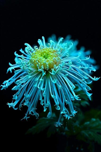 необыкновенной красоты цветы9 (427x640, 183Kb)