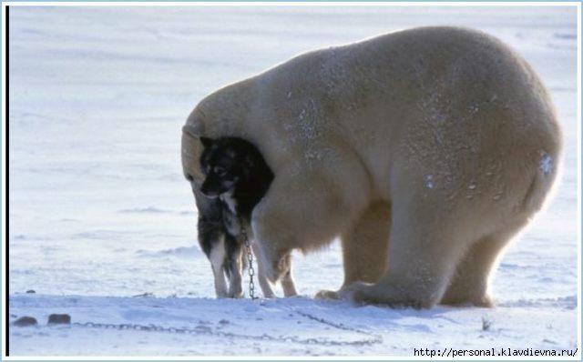 whitebear&dogs_05 (640x398, 104Kb)