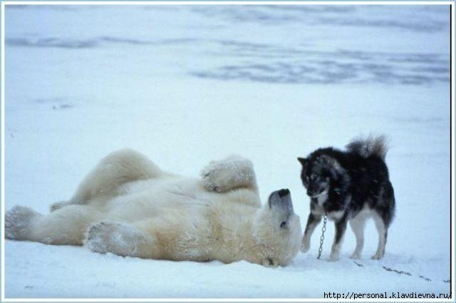 whitebear&dogs_06 (640x425, 99Kb)
