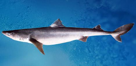 Обыкновенная-колючая-акула-пятнистая-колючая-акула-катран-Squalus-acanthias (468x227, 37Kb)