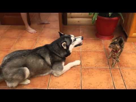 Хаски знакомится с кошкой/3518263_hqdefault (480x360, 13Kb)