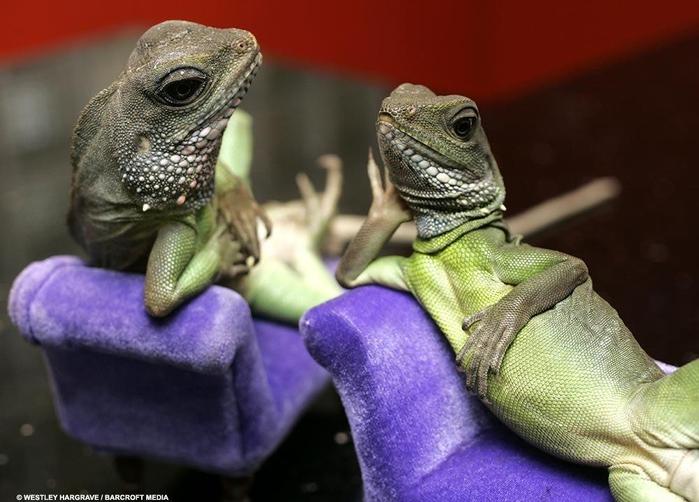 животные ящерицы (700x502, 218Kb)