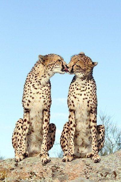 животные леопарды (403x604, 168Kb)