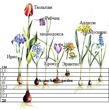 посадки луковиц у цветов