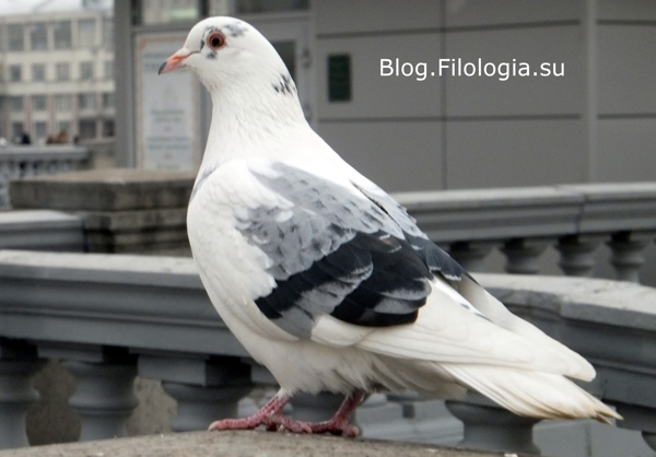 Белый голубь у Храма Христа Спасителя в Москве/3241858_golub (600x418, 100Kb)