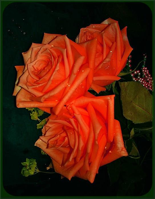 Три розы в росе2 (544x700, 80Kb)
