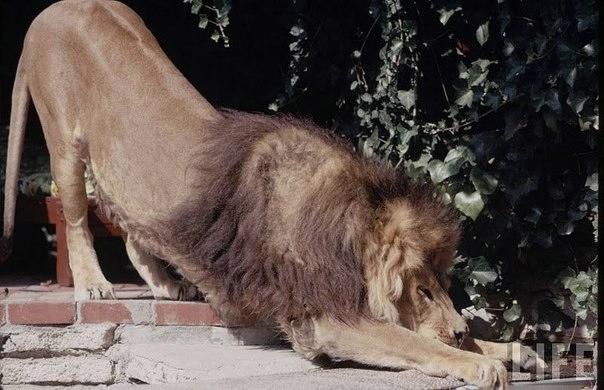 львы фото 6 (604x390, 135Kb)