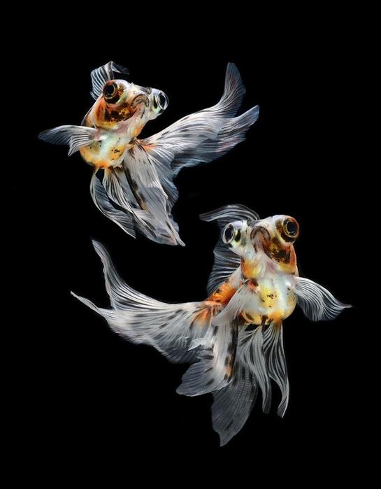 сиамские бойцовские рыбки 2 (545x700, 108Kb)