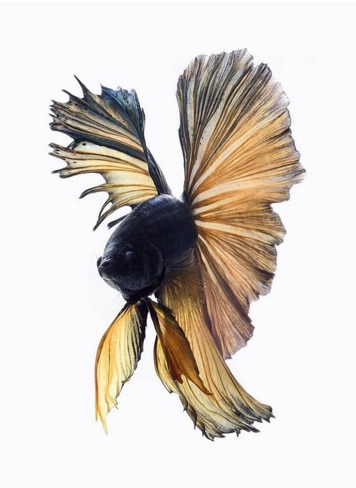 сиамские бойцовские рыбки 4 (511x700, 136Kb)