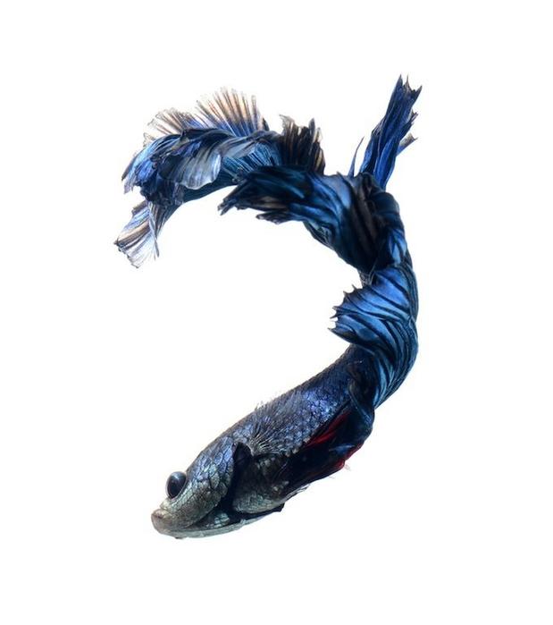 сиамские бойцовские рыбки 9 (619x700, 94Kb)