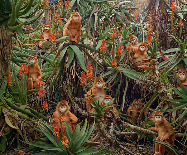 928775_largesimen_johanuntitled174red_monkeys (600x497, 249Kb)