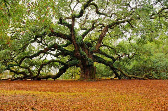 1500 year old 'Angel Oak' in Charleston, South Carolina (700x463, 514Kb)