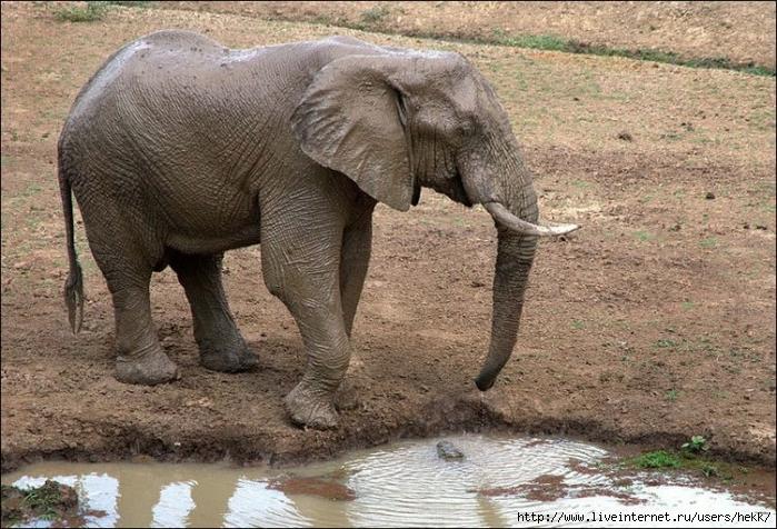elephant_vs_croc_001 (700x476, 335Kb)