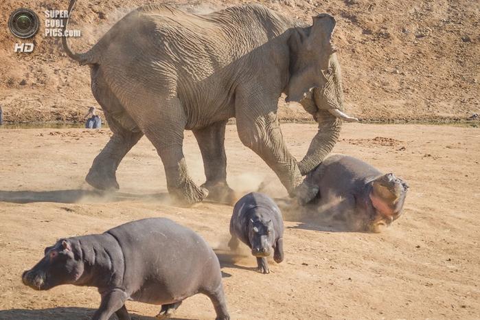 слон и бегемот фото 2 (700x466, 292Kb)