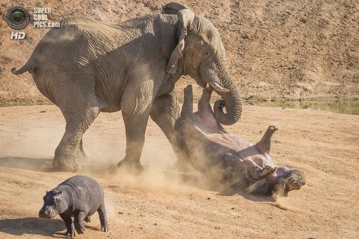 слон и бегемот фото 4 (700x466, 298Kb)