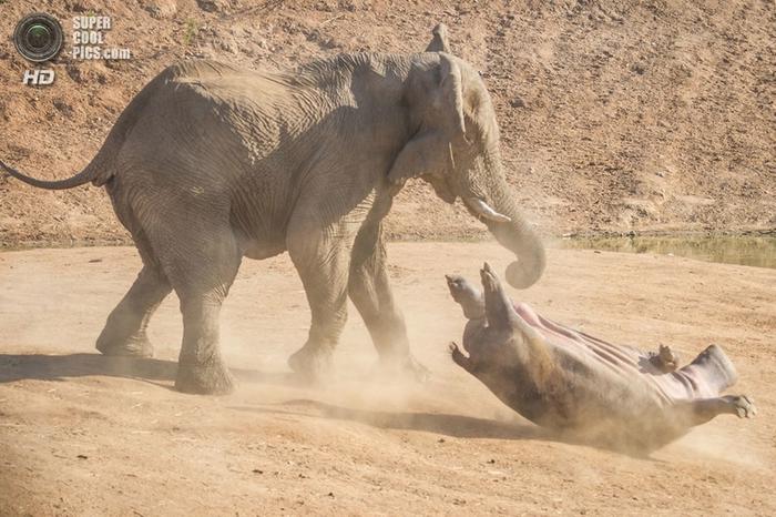 слон и бегемот фото 8 (700x466, 278Kb)