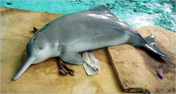 китайский речной дельфин (606x323, 79Kb)