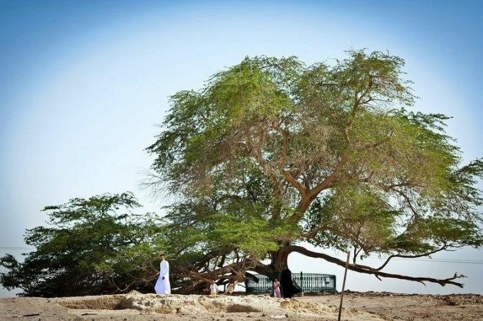 дерево в пустыне бахрейн (700x466, 217Kb)