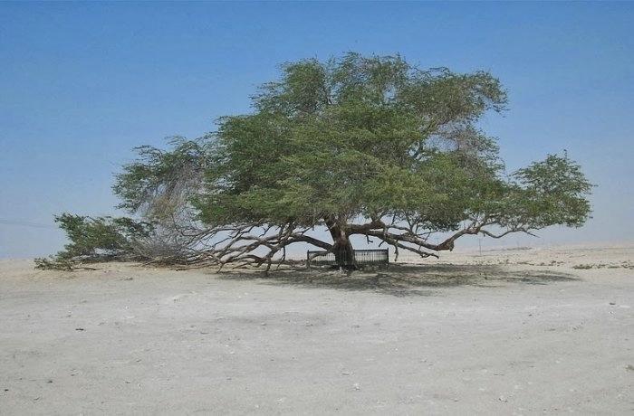 дерево в пустыне бахрейн 2 (700x460, 133Kb)