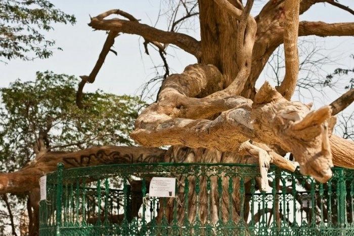 дерево в пустыне бахрейн 6 (700x466, 220Kb)