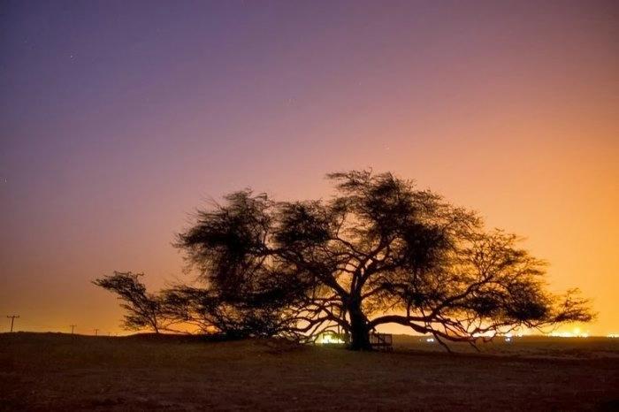 дерево в пустыне бахрейн 8 (700x466, 101Kb)