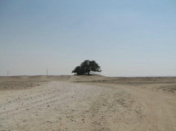 дерево в пустыне бахрейн 10 (700x524, 93Kb)