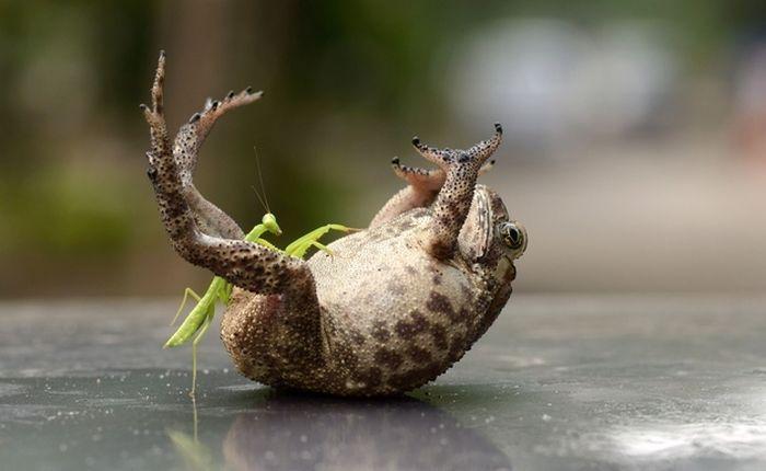 2835299_1385656965_toad_tickled_mantis_01 (700x430, 34Kb)