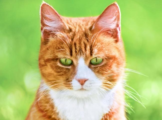 Влияние окраса кошек на их характер1 (650x483, 200Kb)