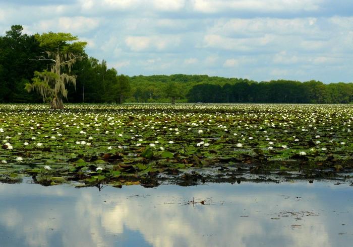 озеро каддо фото (700x491, 431Kb)