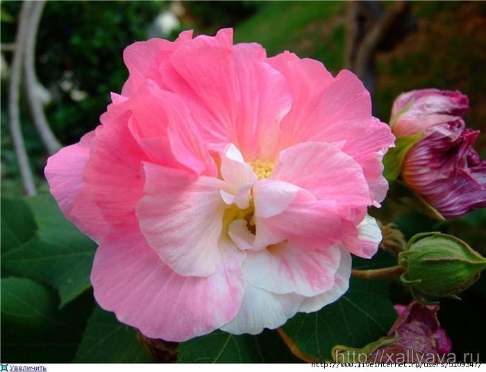 Китайская роза5 (700x537, 237Kb)